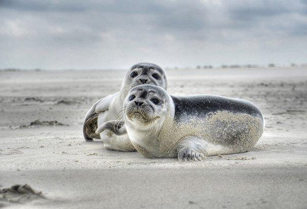 Baltic Sea seals